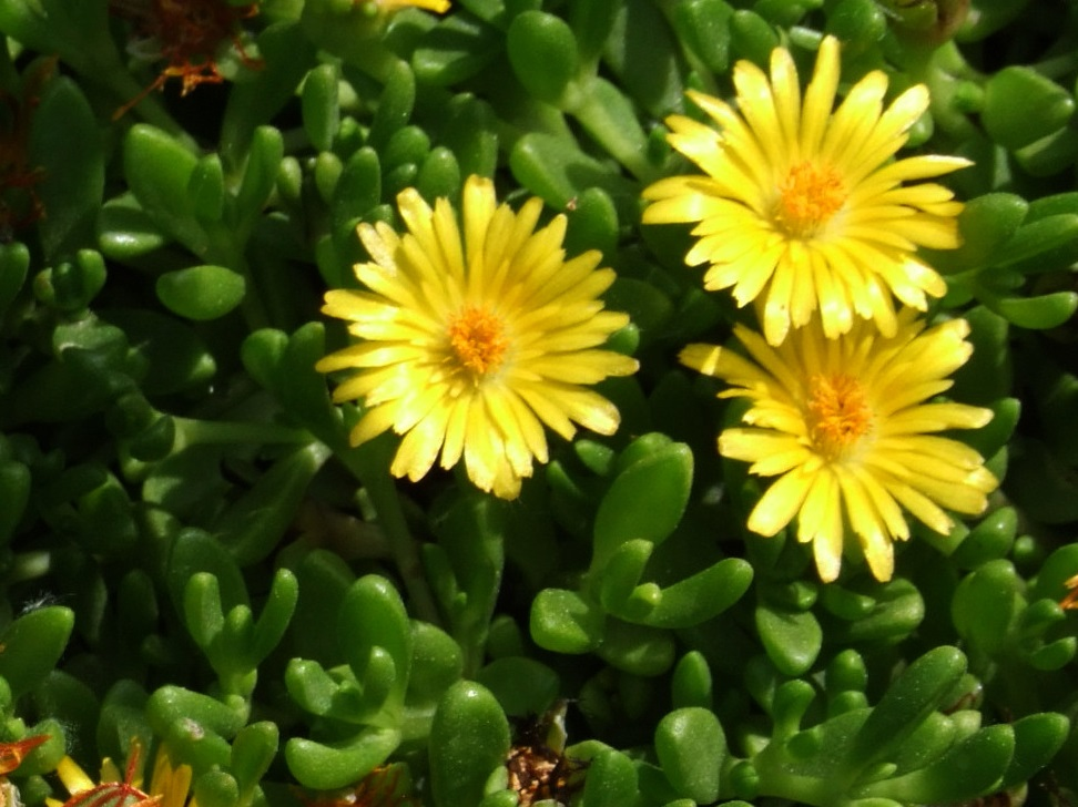 Delosperma with bright yellow blooms