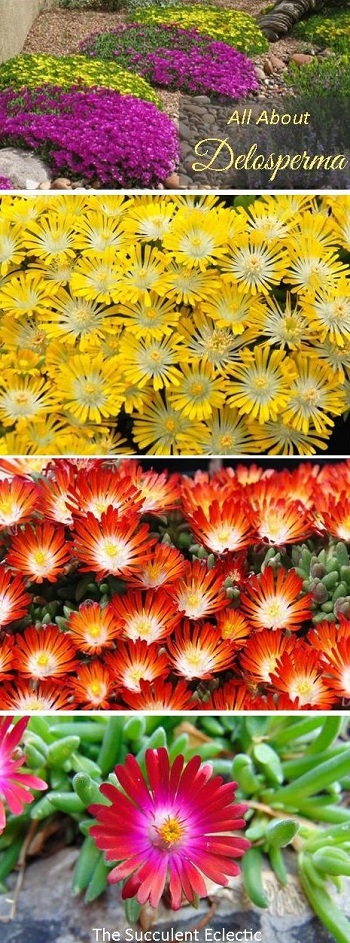 all about growing delosperma ice plant