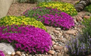 Species Spotlight ~ Delosperma, Hardy Ice Plant