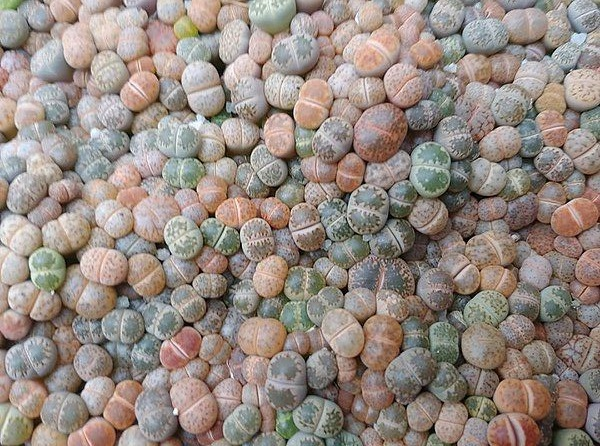 many small lithops living stones plants in many colors