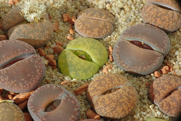 lithops living stones waking in fall for new leaves to emerge