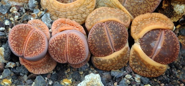 Lithops aucampiae with new leaves emerging