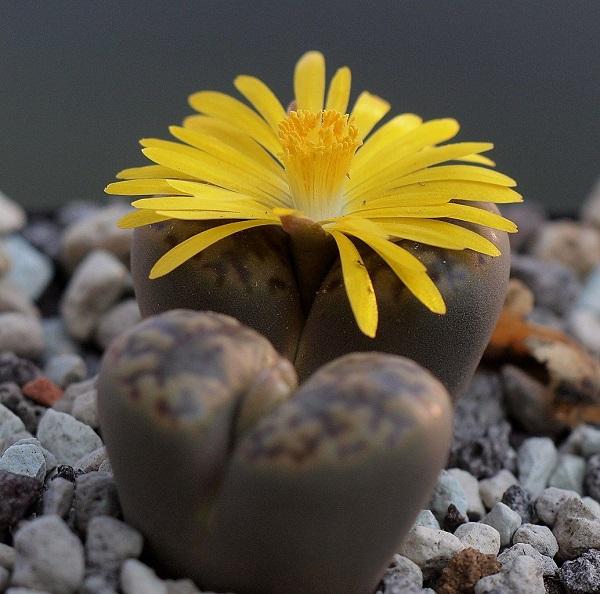 lithops bromfieldii in bloom
