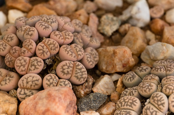 lithops karasmontana growing among rocks