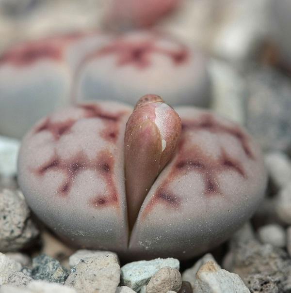 closeup view of lithops karasmontana budding
