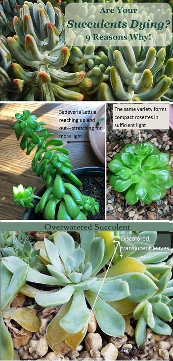 learn the most common causes of dying succulents and improve your succulent care