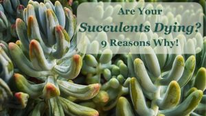 9 Common Causes for Succulents Dying
