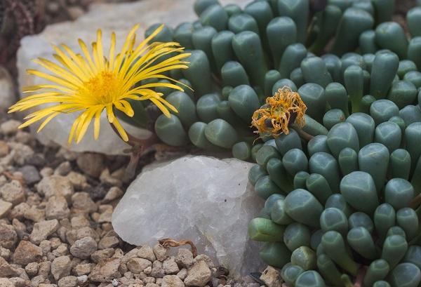Fenestraria rhopalophylla in bloom