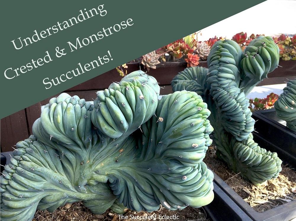Understanding Crested Succulents & Monstrose Cactus