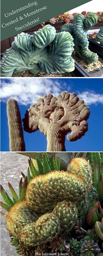 Learn all about crested succulents and monstrose cactus