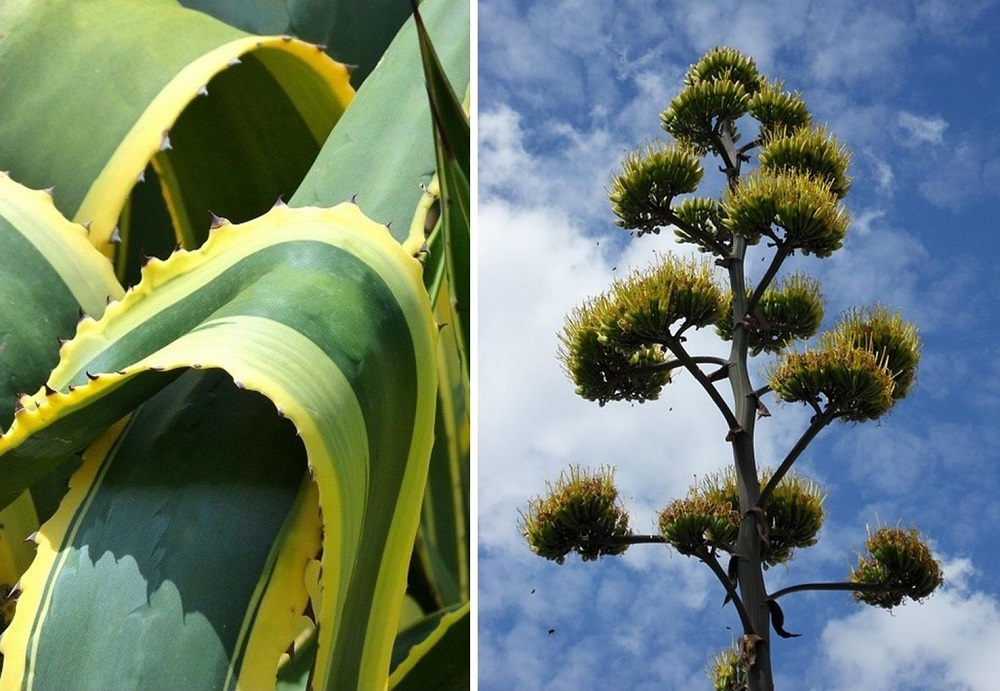 agave americana foliage and bloom spike