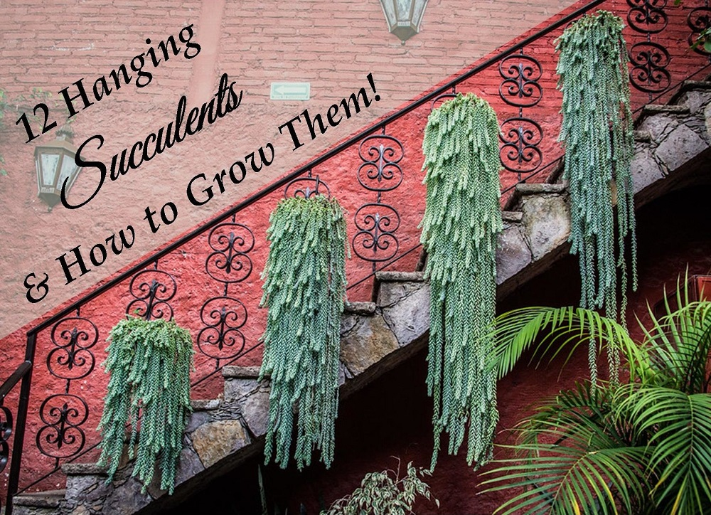 You are currently viewing 12 Hanging Succulents You Can Grow (I promise!)
