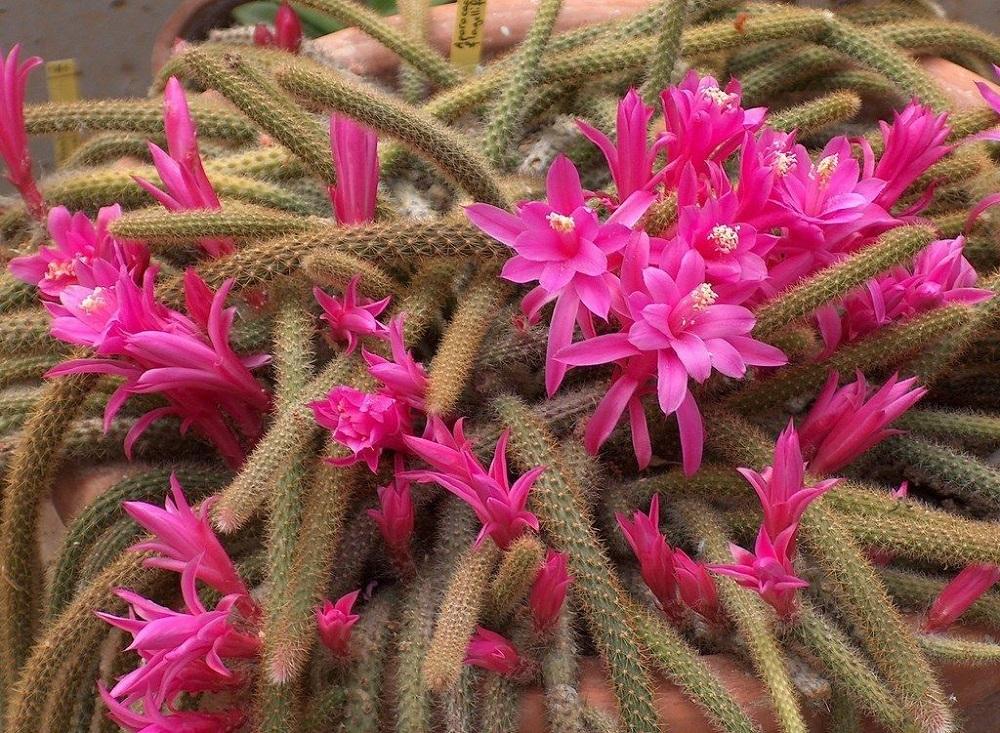 hanging cactus Disocactus flagelliformis—Rat Tail Cactus