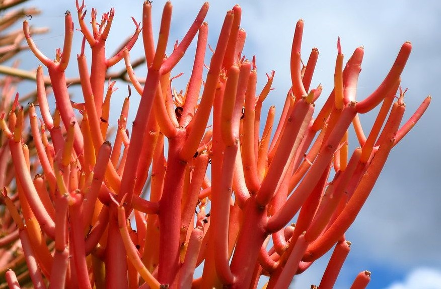 euphorbia tirucallis sticks on fire
