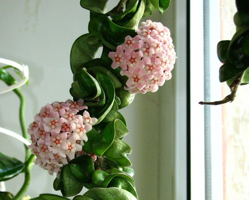 flowers and foliage of Hoya carnosa—Indian Rope Plant