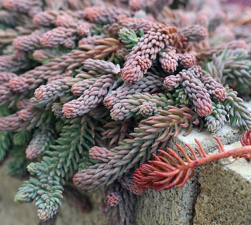 sedum reflexum blue spruce showing winter color