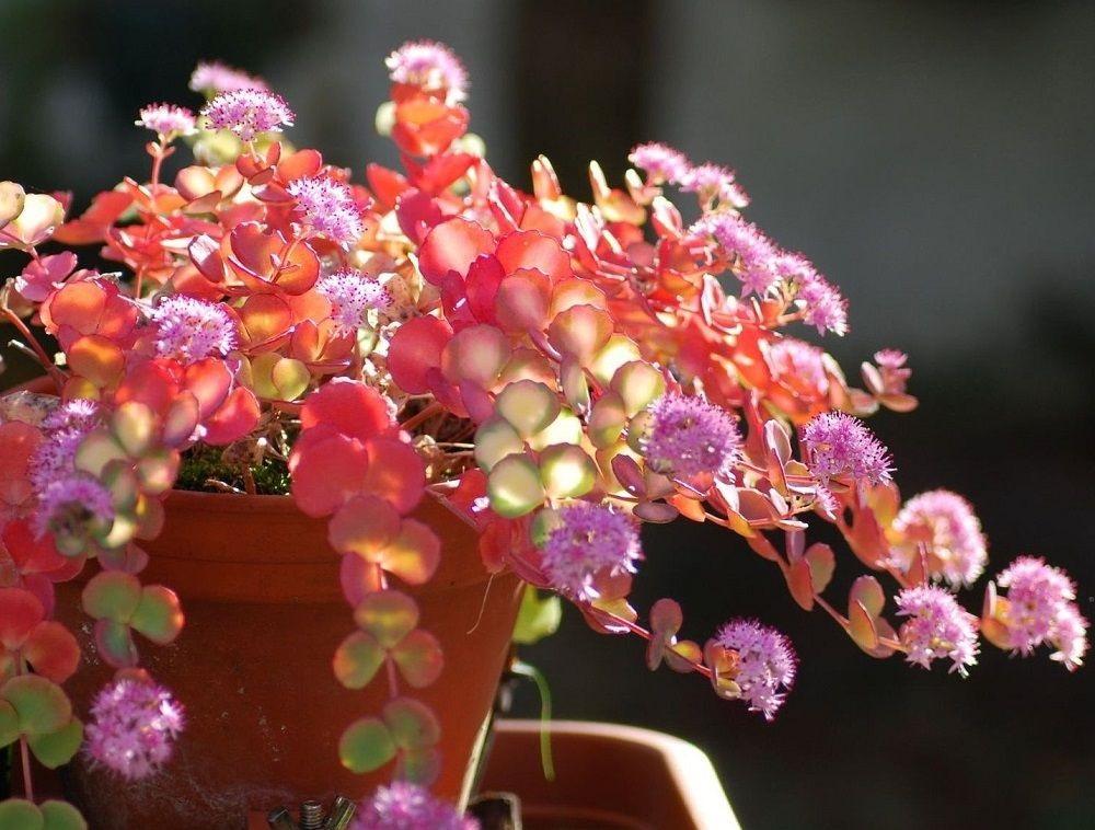Colorful Foliage of Sedum sieboldii variegata