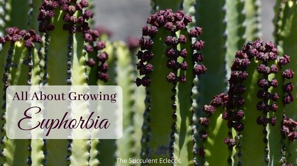 all about growing euphorbia