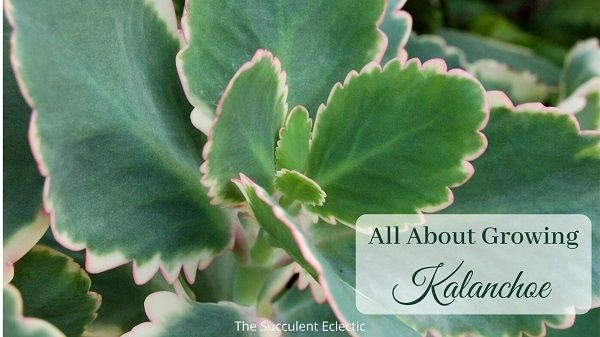all about growing kalanchoe