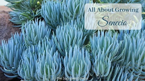 all about growing senecio