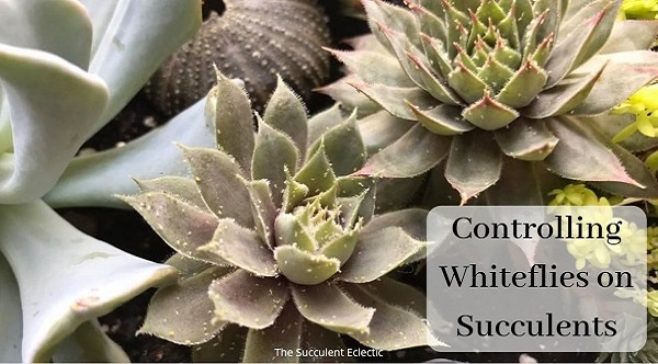 control whiteflies on succulents