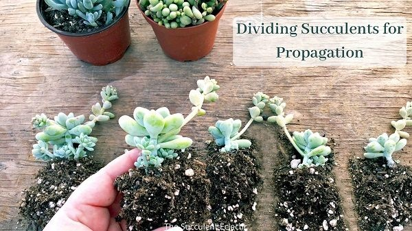 dividing succulents for propagation