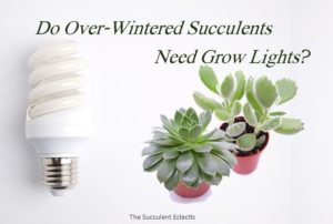 Overwintering Succulents — Need Grow Lights?