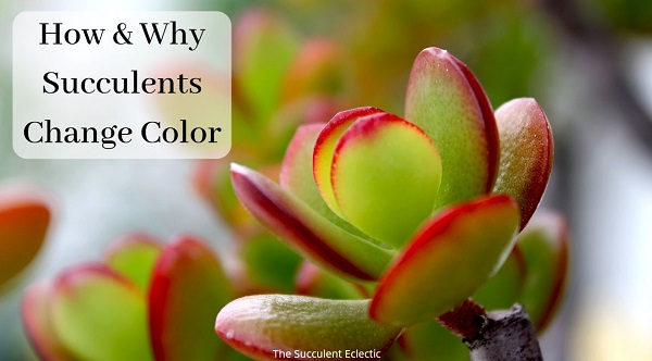 how and why succulents change color