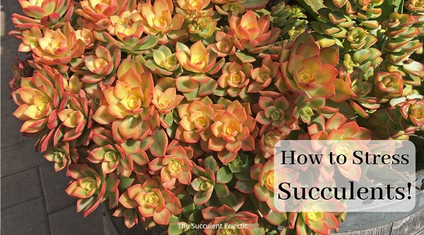 how to stress succulents to make them more colorful