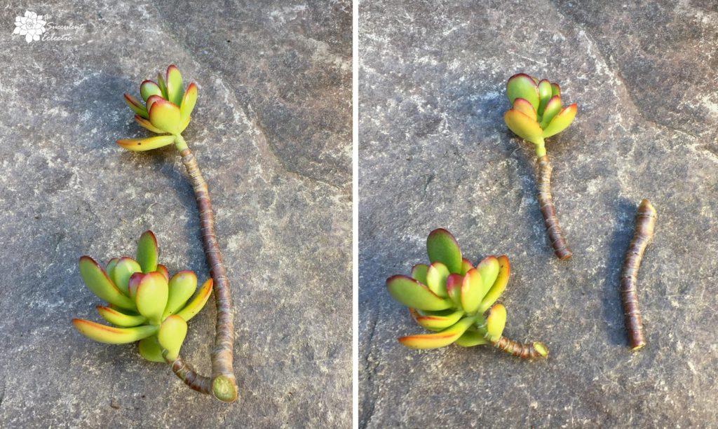 preparing crassula ovata cutting, showing the cuts made before planting succulent cutting