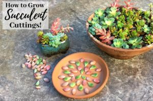 Early Spring & How to Grow Succulent Cuttings!
