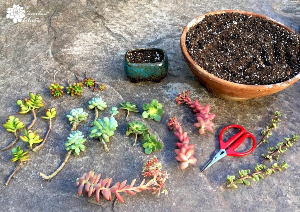 How to grow succulent cuttings with scissors and soil