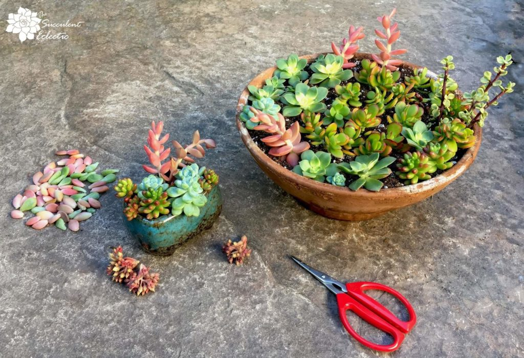 how to grow succulent cuttings