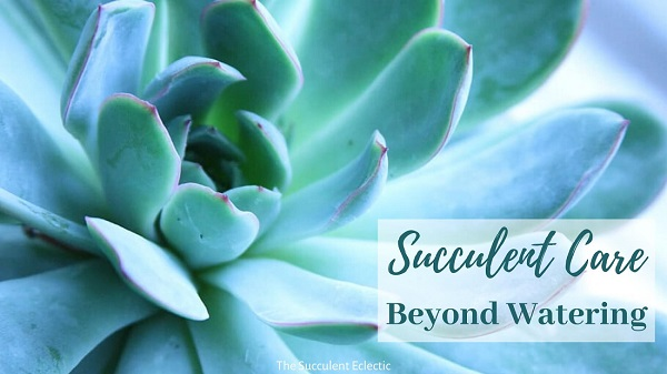 succulent care beyond watering