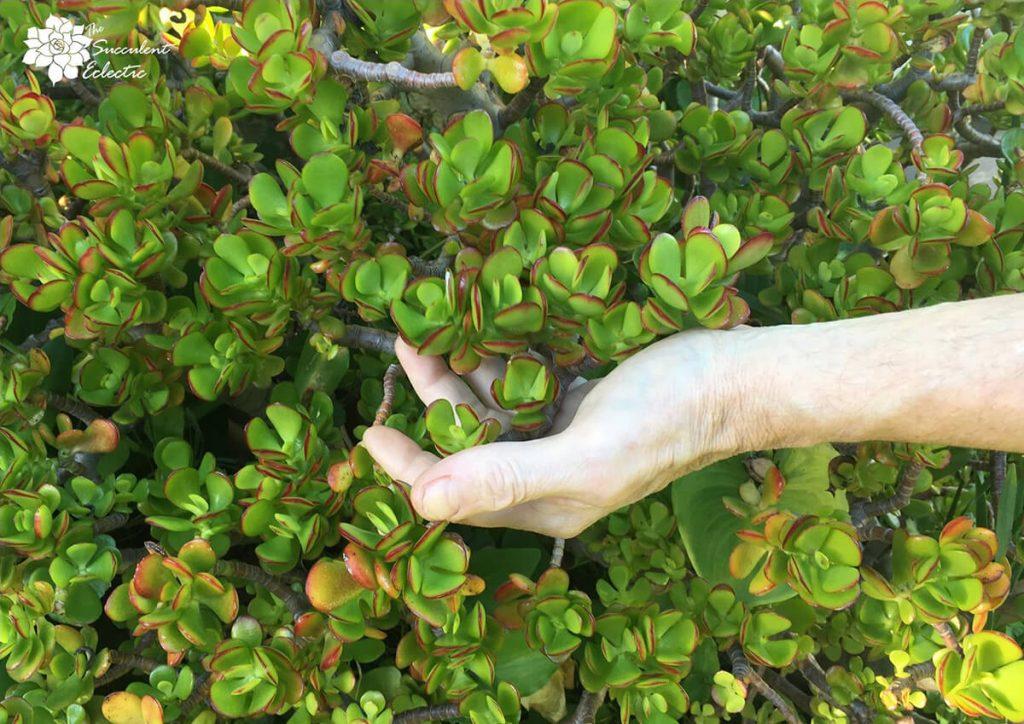 Hand holding Crassula ovata