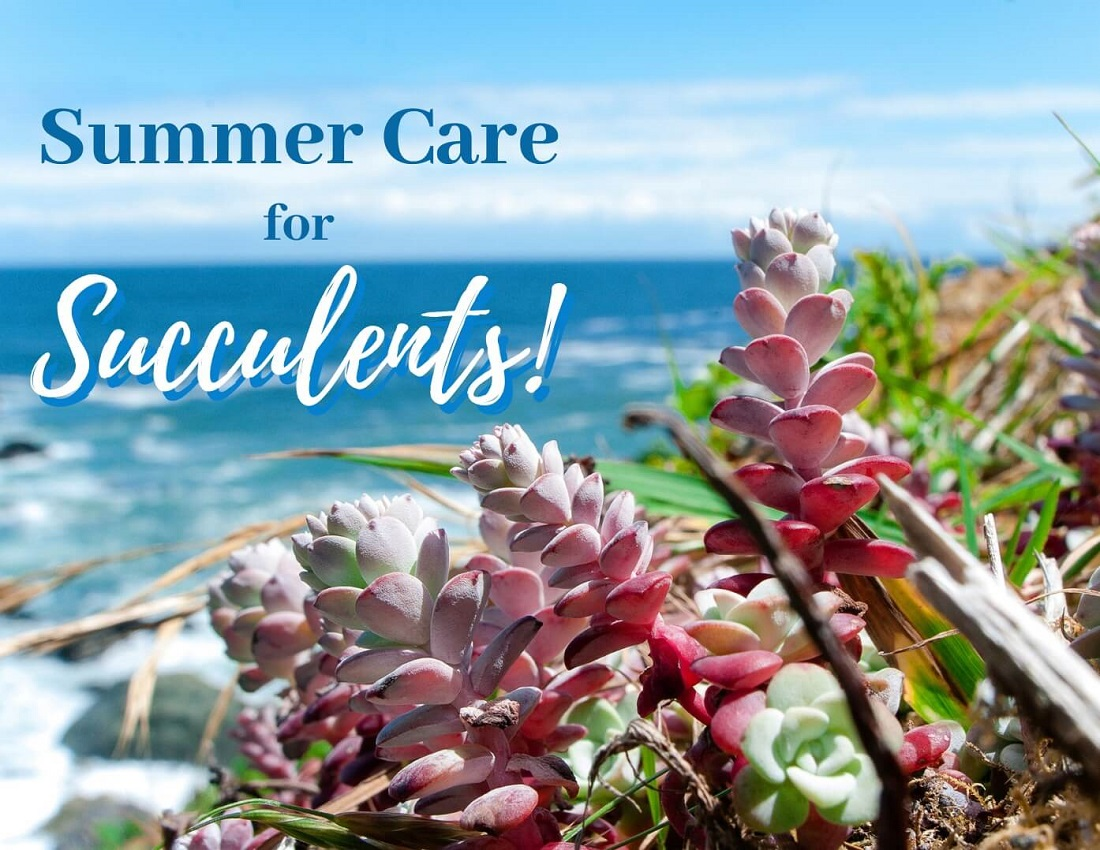 Succulent Care in Summer
