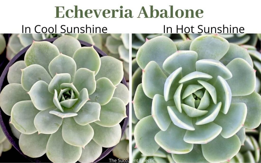 Echeveria Abalone in spring and in summer