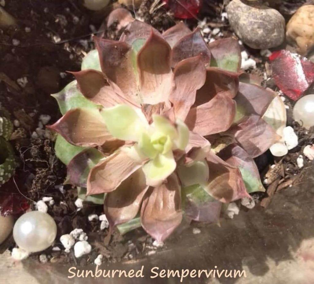 Sunburned Sempervivum