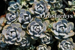 Species Spotlight ~ Orostachys