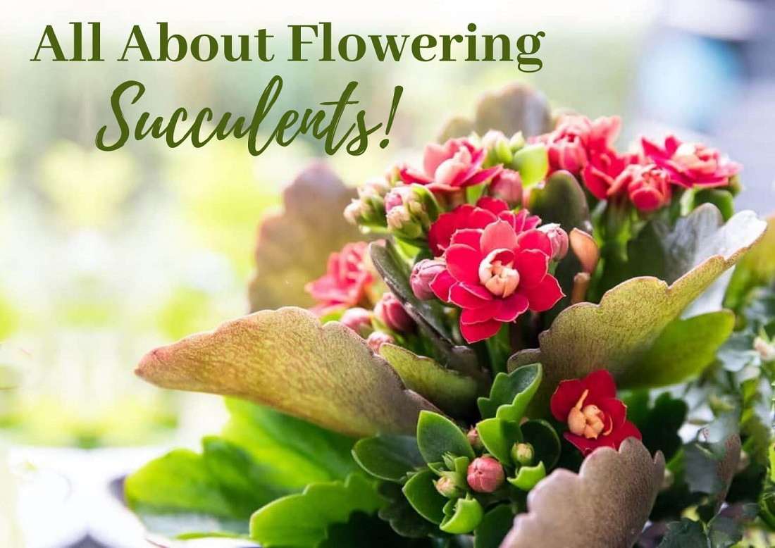 All About Flowering Succulents + Best 16 Picks!