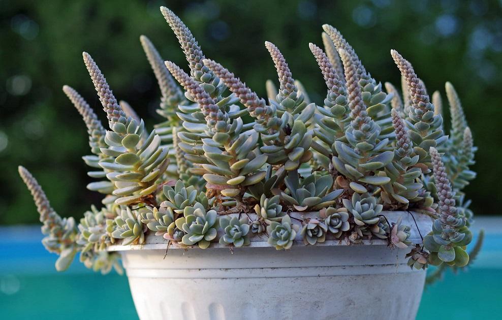 Orostachys malac in bloomophylla var. iwarenge, - cold hardy succulents
