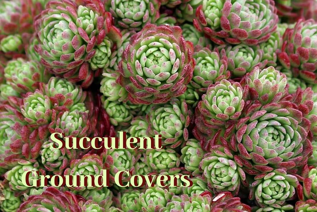All About Succulent Ground Cover
