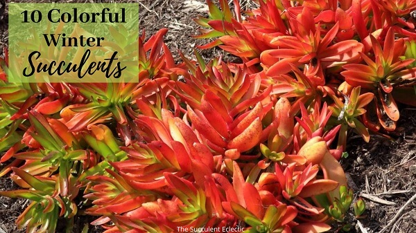 10 colorful winter succulents