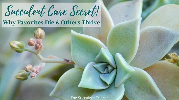 Succulent Care secret Why Favorites die and others thrive