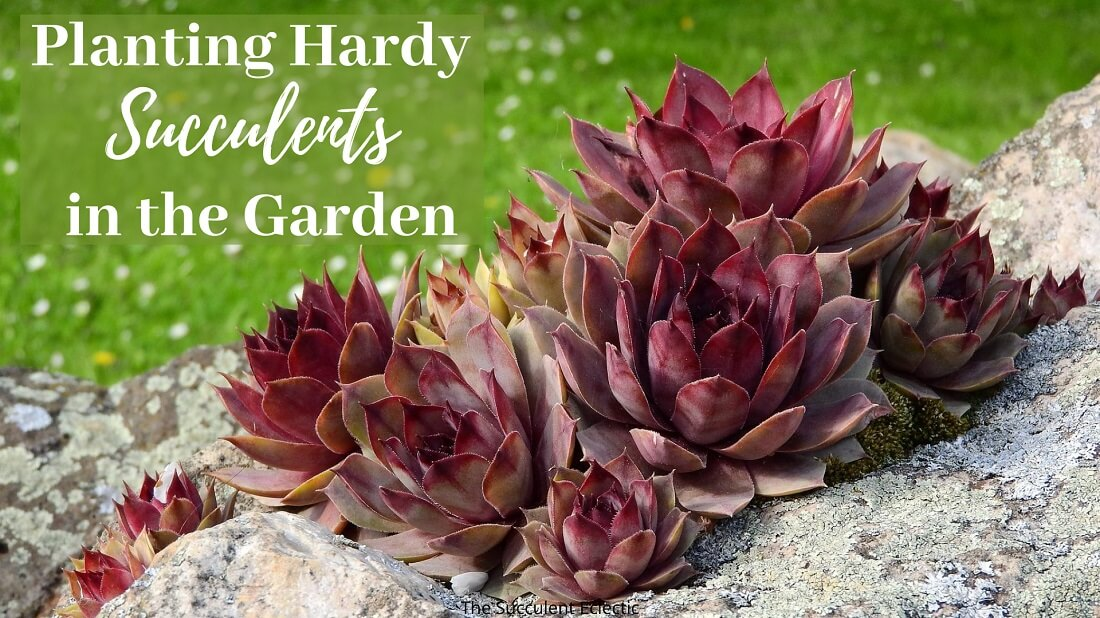 Planting Hardy Succulents in the Garden – How & When