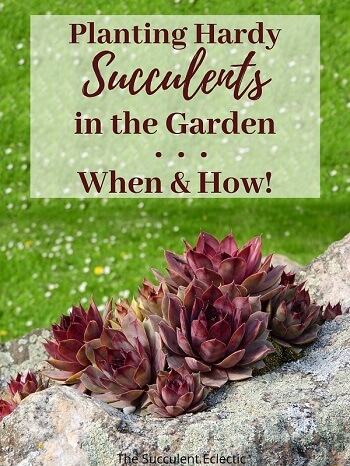 PLanting hardy succulents in the garden - when and how!