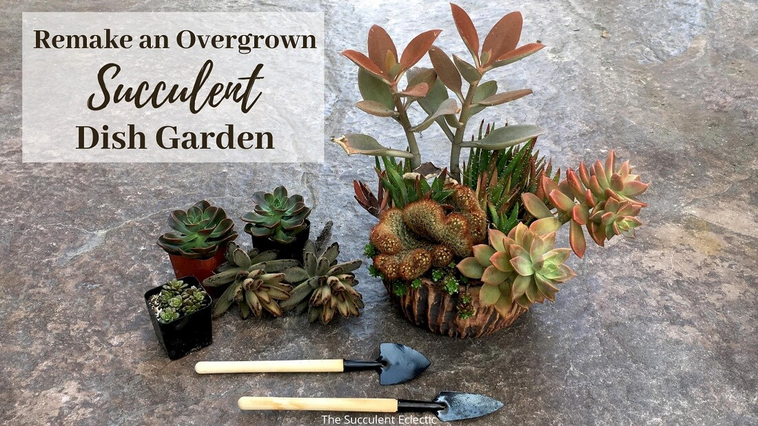 How to Rejuvenate an Overgrown Succulent Dish Garden