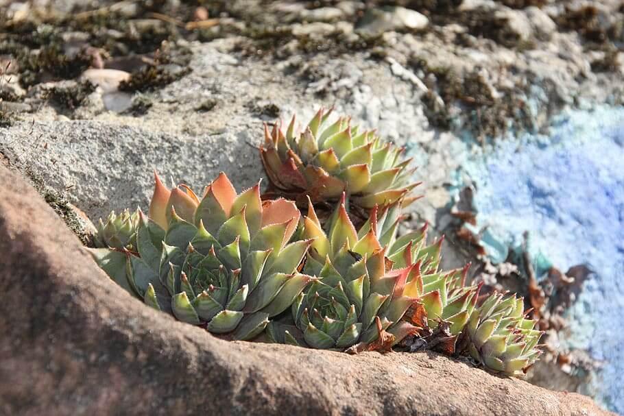 Sempervivum, hardy succulents in the garden