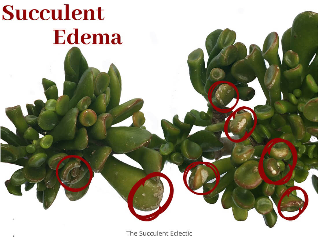 Understanding Plant Edema on Succulents