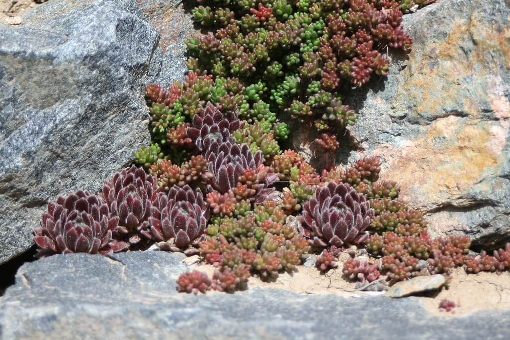 hardy succulents sempervivum and sedum hispanicum planted in rock garden
